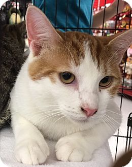 Domestic Shorthair Cat for adoption in Garland, Texas - Francine (Frankie, girl)