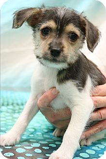 Yorkie, Yorkshire Terrier/Beagle Mix Puppy for adoption in Southington, Connecticut - Simon