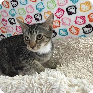 Domestic Shorthair Kitten for adoption in Fountain Hills, Arizona - POLLY