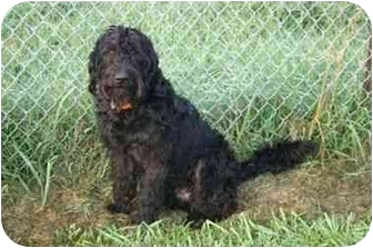 Giant Schnauzer Mix Dog for adoption in Muldrow, Oklahoma - BAILEY
