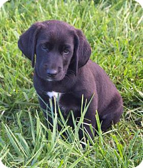Labrador Retriever/Hound (Unknown Type) Mix Puppy for adoption in Fairfax, Virginia - Ernie