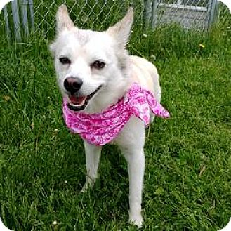 American Eskimo Dog/Siberian Husky Mix Dog for adoption in Janesville, Wisconsin - Timber