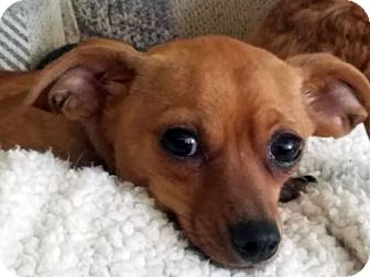 Dachshund/Miniature Pinscher Mix Dog for adoption in Antioch, California - Peanut