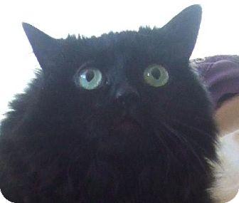 Domestic Longhair Cat for adoption in Alturas, California - Twilight