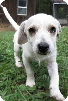 Chihuahua/Terrier (Unknown Type, Small) Mix Puppy for adoption in Syracuse, New York - Tiny Tanner