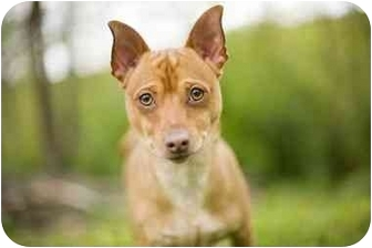 Chihuahua/Spitz (Unknown Type, Small) Mix Dog for adoption in Bloomsburg, Pennsylvania - Peanut