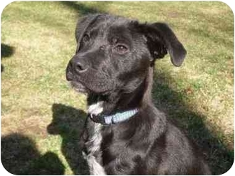Border Collie/Labrador Retriever Mix Puppy for adoption in New Fairfield, Connecticut - Joanie