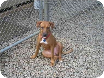 Mountain Cur Mix Dog for adoption in Bloomsburg, Pennsylvania - Abby