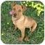 Photo 2 - Rhodesian Ridgeback/Labrador Retriever Mix Puppy for adoption in Berkeley, California - Henna