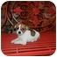Photo 4 - Maltese/Beagle Mix Puppy for adoption in Hartford, Connecticut - Alex