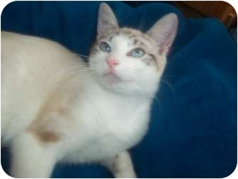 Domestic Shorthair Cat for adoption in Little Neck, New York - SASHA SIAMESE MIX