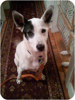 Ibizan Hound Mix Dog for adoption in kennebunkport, Maine - Colt - in Maine!