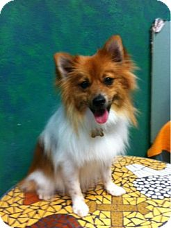 Pomeranian/American Eskimo Dog Mix Dog for adoption in Goleta, California - EZ