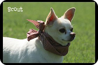 Chihuahua Mix Dog for adoption in Cranford, New Jersey - Scout