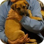 Boxer Mix Puppy for adoption in Eatontown, New Jersey - Rascal