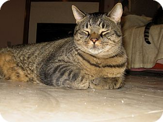 Domestic Shorthair Cat for adoption in Toronto, Ontario - Hector