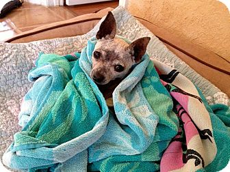 Chihuahua Dog for adoption in Ft. Lauderdale, Florida - Ally