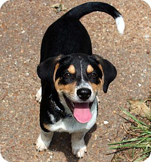 Australian Cattle Dog Mix Puppy for adoption in Salem, New Hampshire - PUPPY ERICK