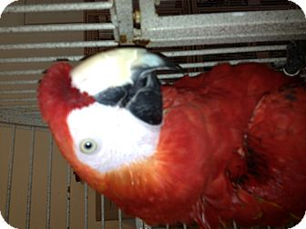 Lovebird for adoption in Punta Gorda, Florida - Ruby