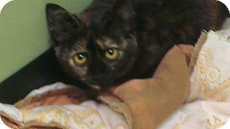 Hemingway/Polydactyl Kitten for adoption in Grasonville, Maryland - Mischief