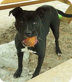 Pit Bull Terrier Mix Dog for adoption in Lapeer, Michigan - MARY JANE-SPONSORED!!!