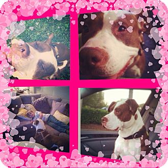 American Bulldog Mix Dog for adoption in Gainesville, Georgia - Laura