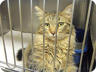 Maine Coon Cat for adoption in Fremont, Nebraska - Prince