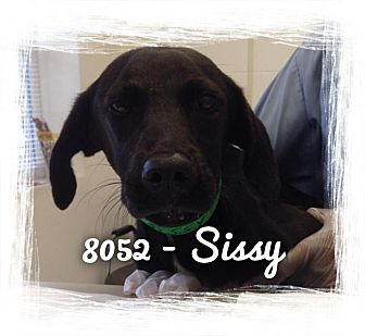Labrador Retriever Mix Puppy for adoption in Dillon, South Carolina - Sissy