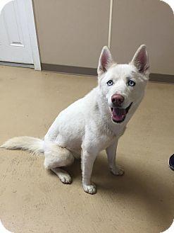 Husky Mix Dog for adoption in Marshall, Texas - Sasha