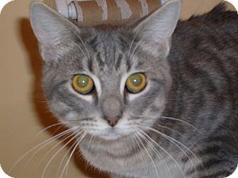 Domestic Shorthair Cat for adoption in Lenexa, Kansas - Titan