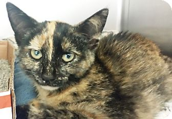 Domestic Shorthair Kitten for adoption in Manitowoc, Wisconsin - *Louise*