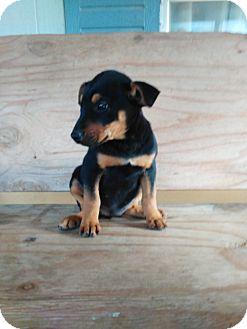 Shepherd (Unknown Type) Mix Puppy for adoption in springtown, Texas - Stormy