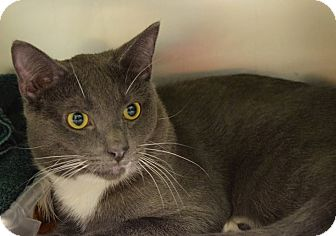 Domestic Shorthair Cat for adoption in Windsor, Virginia - Gary