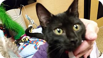 Domestic Shorthair Kitten for adoption in East Hartford, Connecticut - Starlight (in CT)