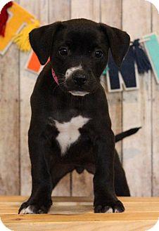 Pointer Mix Puppy for adoption in Waldorf, Maryland - Flower