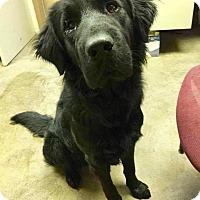 Adopt A Pet :: SAMPSON - Cadiz, OH