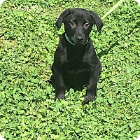 Adopt A Pet :: Drake-meet me 4/21 - East Hartford, CT