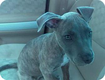Pit Bull Terrier Mix Puppy for adoption in St Louis, Missouri - Emmitt