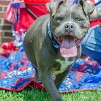 Adopt A Pet :: Steele - Philadelphia, PA