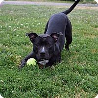 Adopt A Pet :: D'Jango - Steger, IL