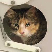 Adopt A Pet :: Regina - Barn Cat!! - Milwaukee, WI