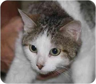 Domestic Shorthair Cat for adoption in White Settlement, Texas - Beatriz