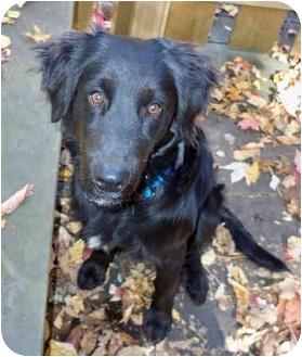 Flat-Coated Retriever/Labrador Retriever Mix Dog for adoption in Powell, Ohio - Sampson