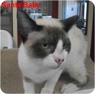 Siamese Cat for adoption in Slidell, Louisiana - Santa Baby