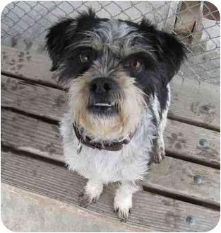 Border Terrier Mix Dog for adoption in San Clemente, California - PAYASO