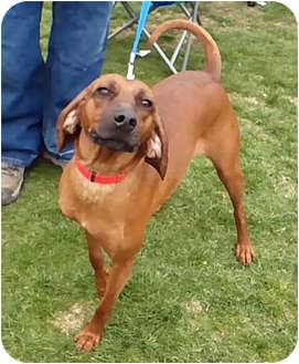 Redbone Coonhound Dog for adoption in Powell, Ohio - Ruby Jayne