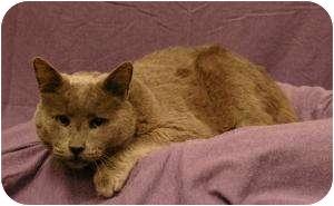 Russian Blue Cat for adoption in Sacramento, California - Smoky