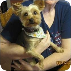 Yorkie, Yorkshire Terrier Dog for adoption in Canton, Illinois - Yoshie