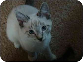 Siamese Kitten for adoption in San Diego/North County, California - Fugi