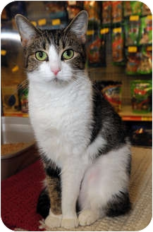 Domestic Shorthair Cat for adoption in Farmingdale, New York - Gwen